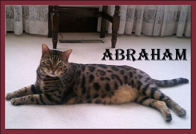 Bengal Cat Abraham