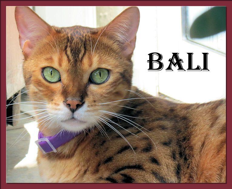 Bengal Cat Bali