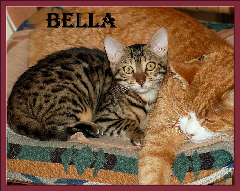Bengal Cat Bella