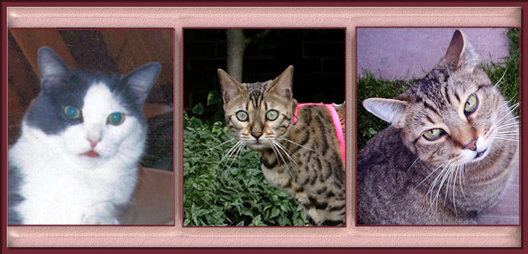 Bengal Cats, Tomcats, Alley Cats