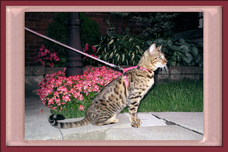 Bengal Cat Ready to Chase Bees and Enjoying Nibbling on Flowers