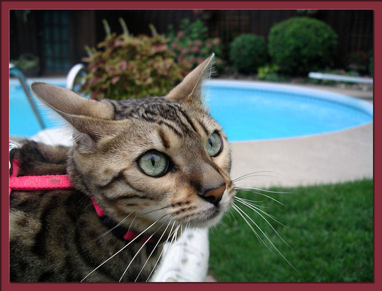 Bengal Cat By Swimming Pool