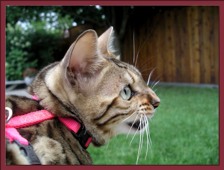 Bengal Cat Chattering