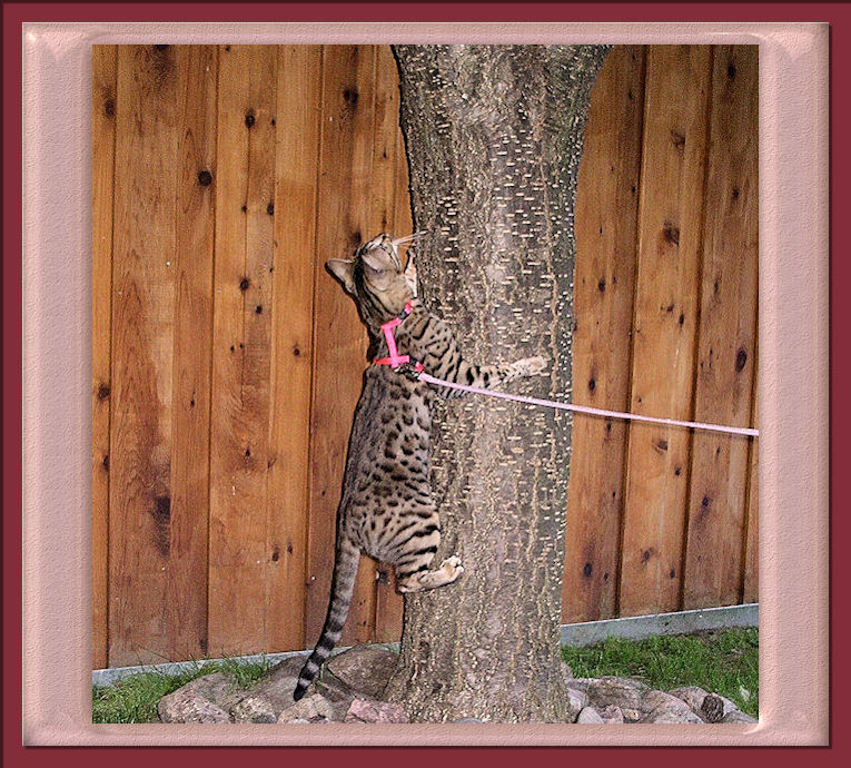 Bengal Cat Climbing Tree