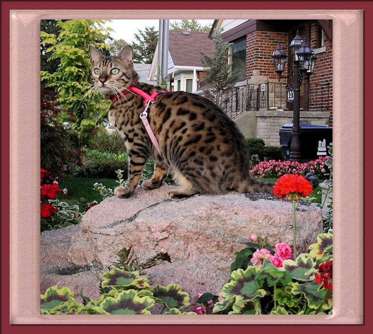 Spotted Bengal Cat Perched on Rock With Harness and Leash