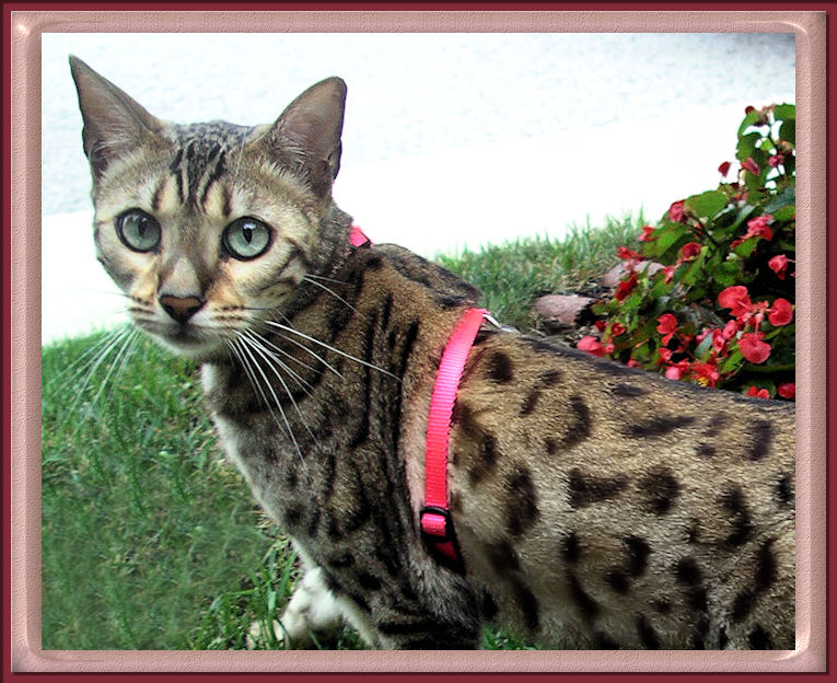 Bengal Cat Faq