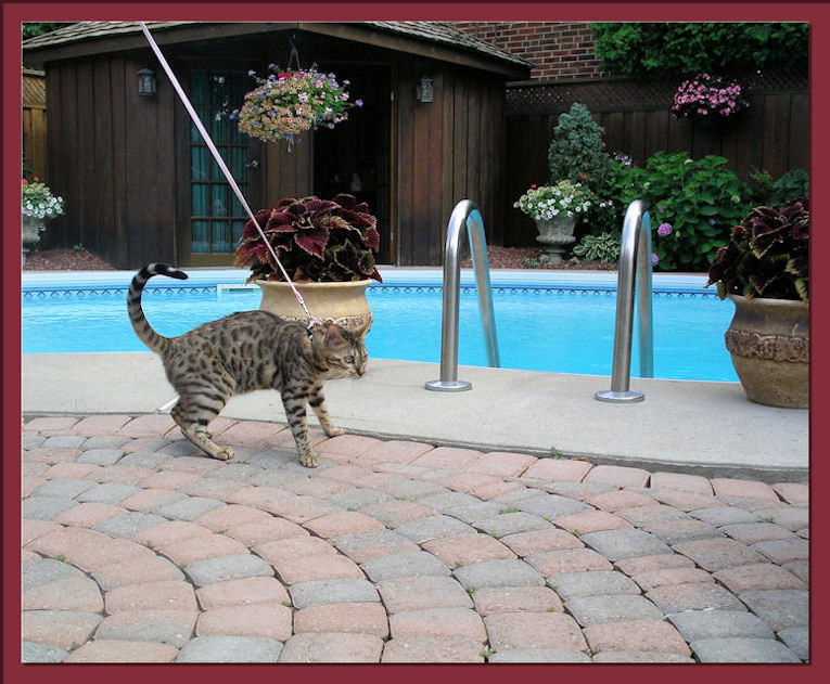 Bengal Cat Sees Big Bug on First Trip Outdoors