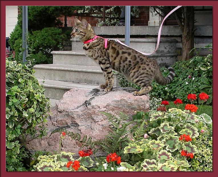 Rosetted Bengal Cat Perched Majestically atop of large Fieldstone