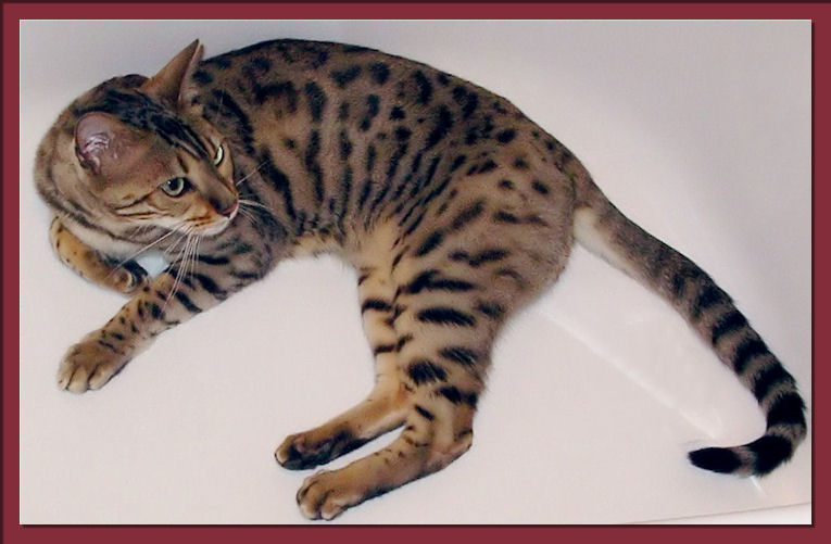 Bengal Cat In Bathtub