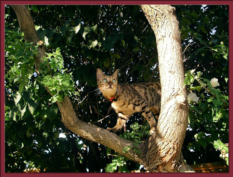 Bengal Cat In Tree