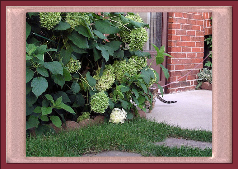 Bengal Cat Hiding in the Hydrangeas