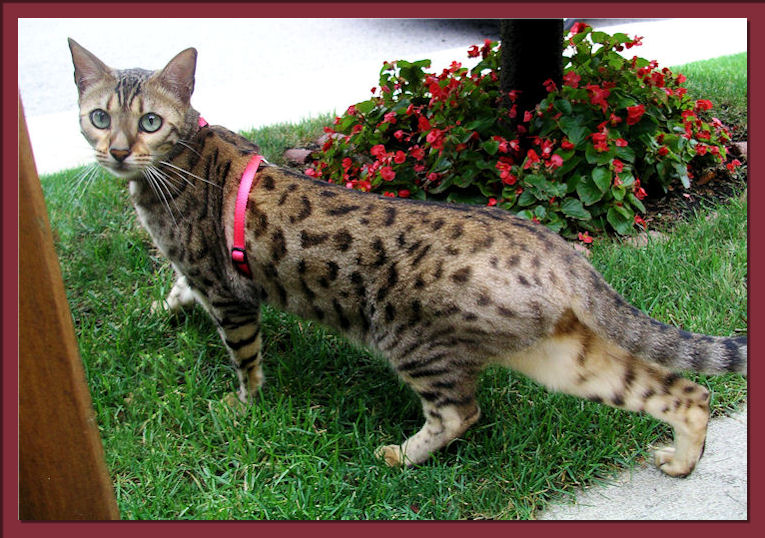 Bengal Cat Moving