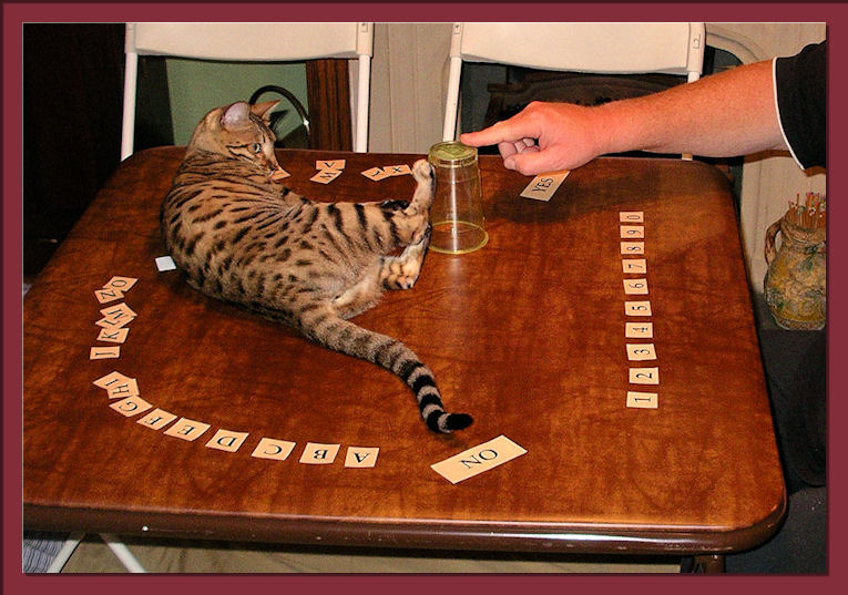 Bengal Cat Playing Game