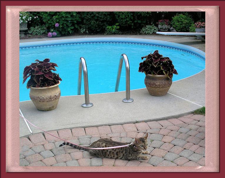 Bengal Cat Near Swimming Pool