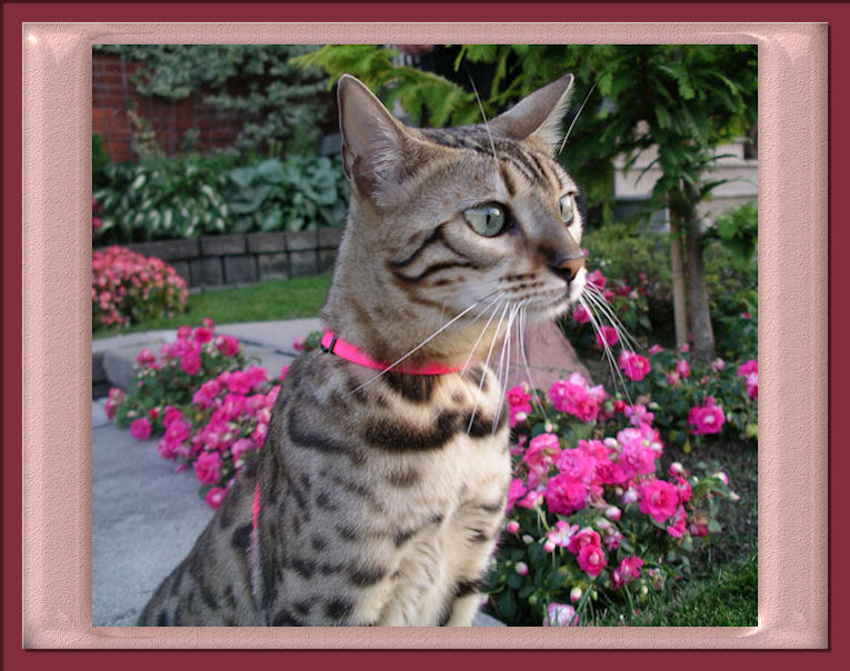 everything about bengal cats