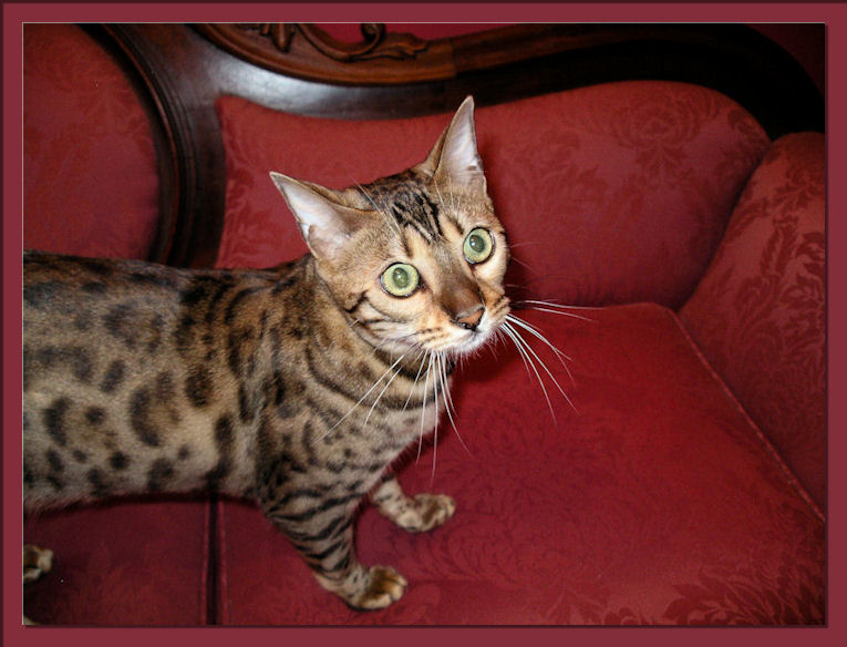 Bengal Cat On Couch Beautiful Face, Green Eyes and Exotic Markings