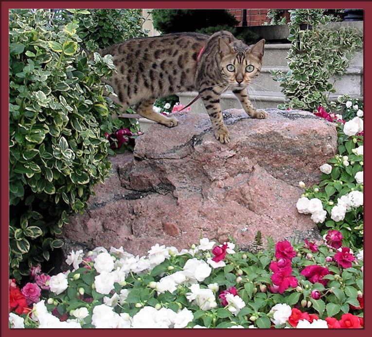 Bengal Cat Climbing Stone
