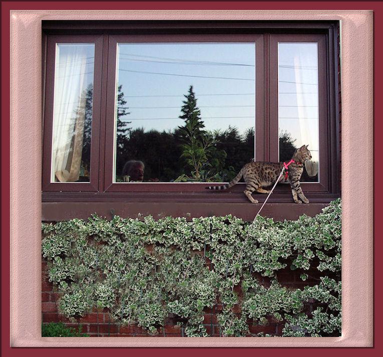 Bengal Cat Climbing on the Window Ledge