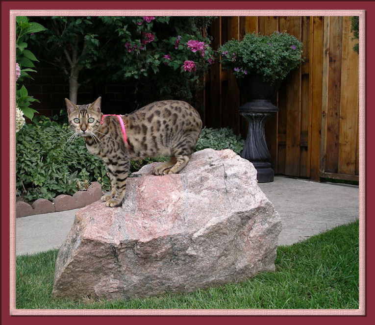 Bengal Cat With Rosettes On Large Boulder her name is Lucy Law