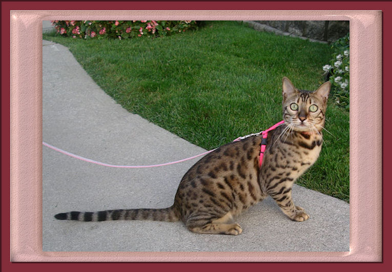 Beautiful Rosette Bengal Cat posing with her Pink Harness and Leash