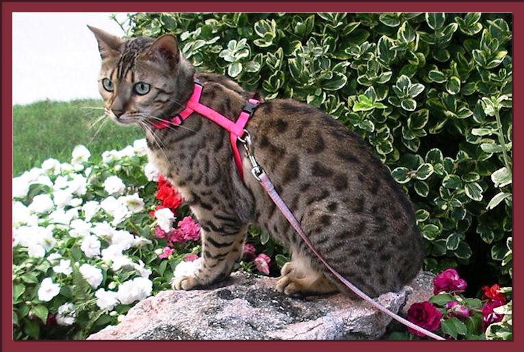 Bengal Cat Posing