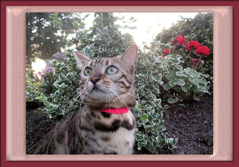 Bengal Cat Beautiful Rosettes in Garden with Looking at Bird