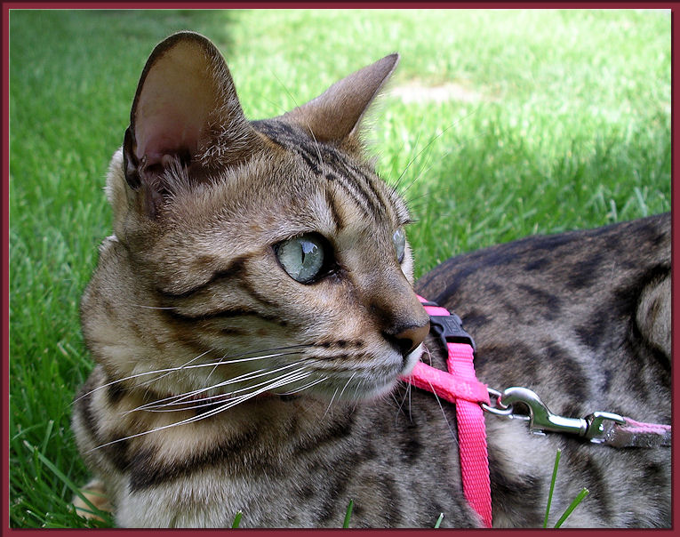 Bengal Cat Profile of Face