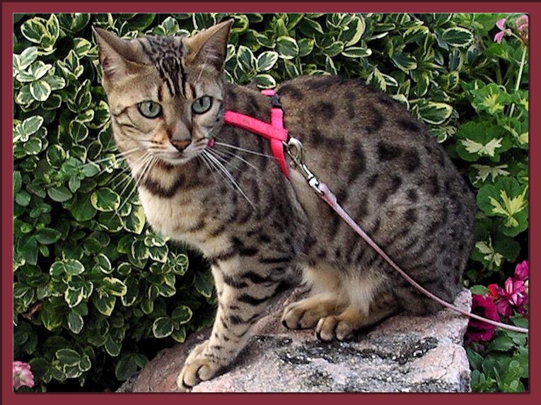 Bengal Cat Rosettes