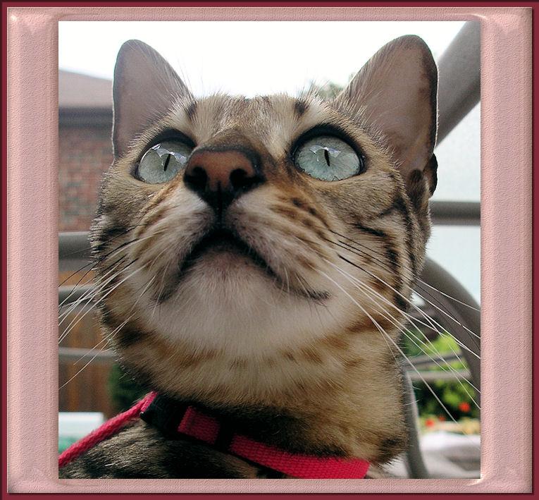 Bengal Cat Smiling