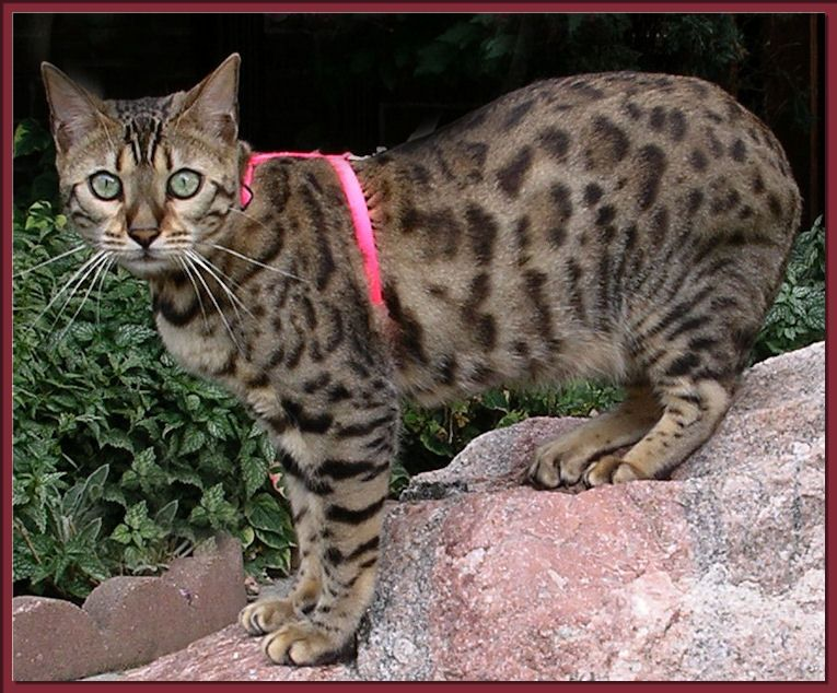 Should you get a bengal cat