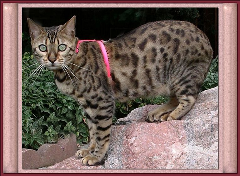 Bengal Cat with Rosettes, Glitter, Exotic Look
