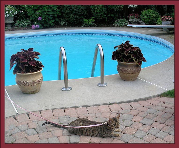 Bengal Cat With Leash Relaxing Outside