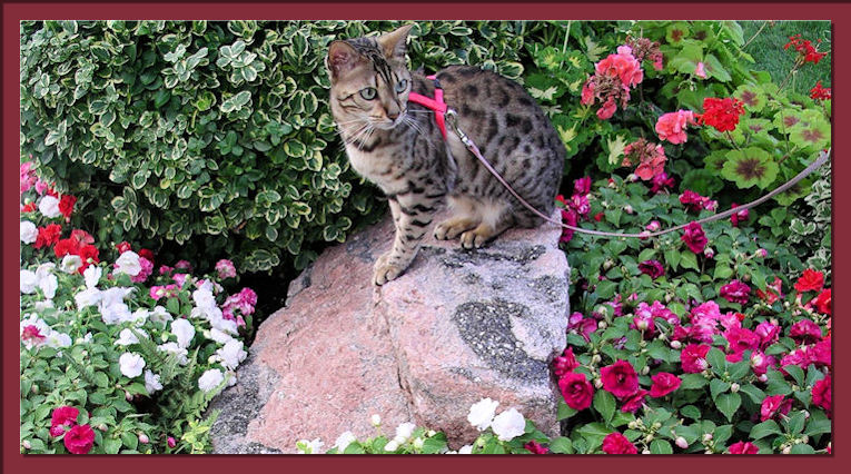 Bengal Cat Outdoors with Flowers