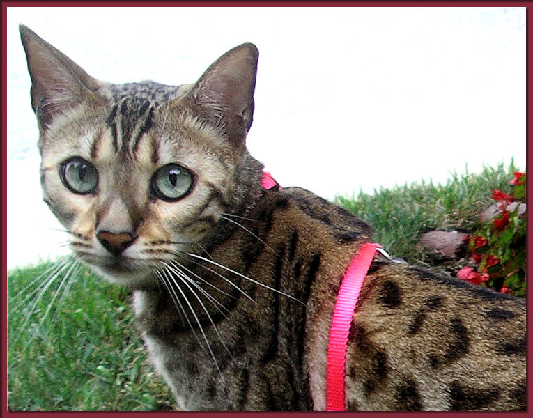 Bengal Cat With Harness