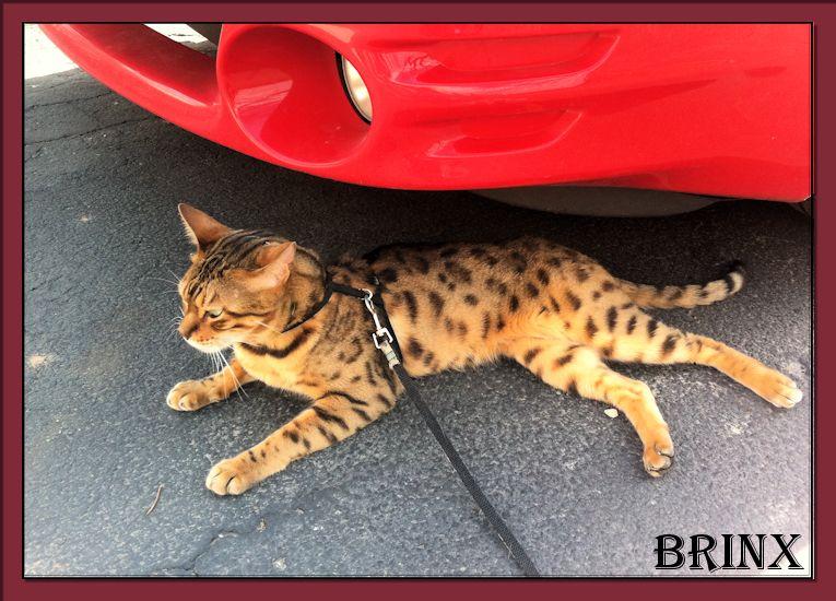 Bengal Cat Brinx