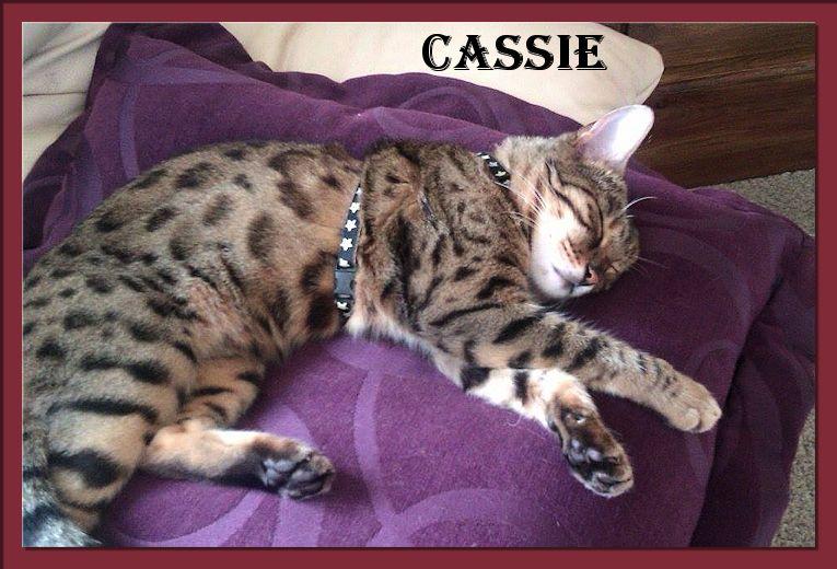 Bengal Cat Cassie