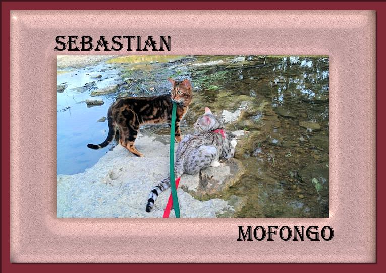 Bengal Cats Sebastion and Mofongo