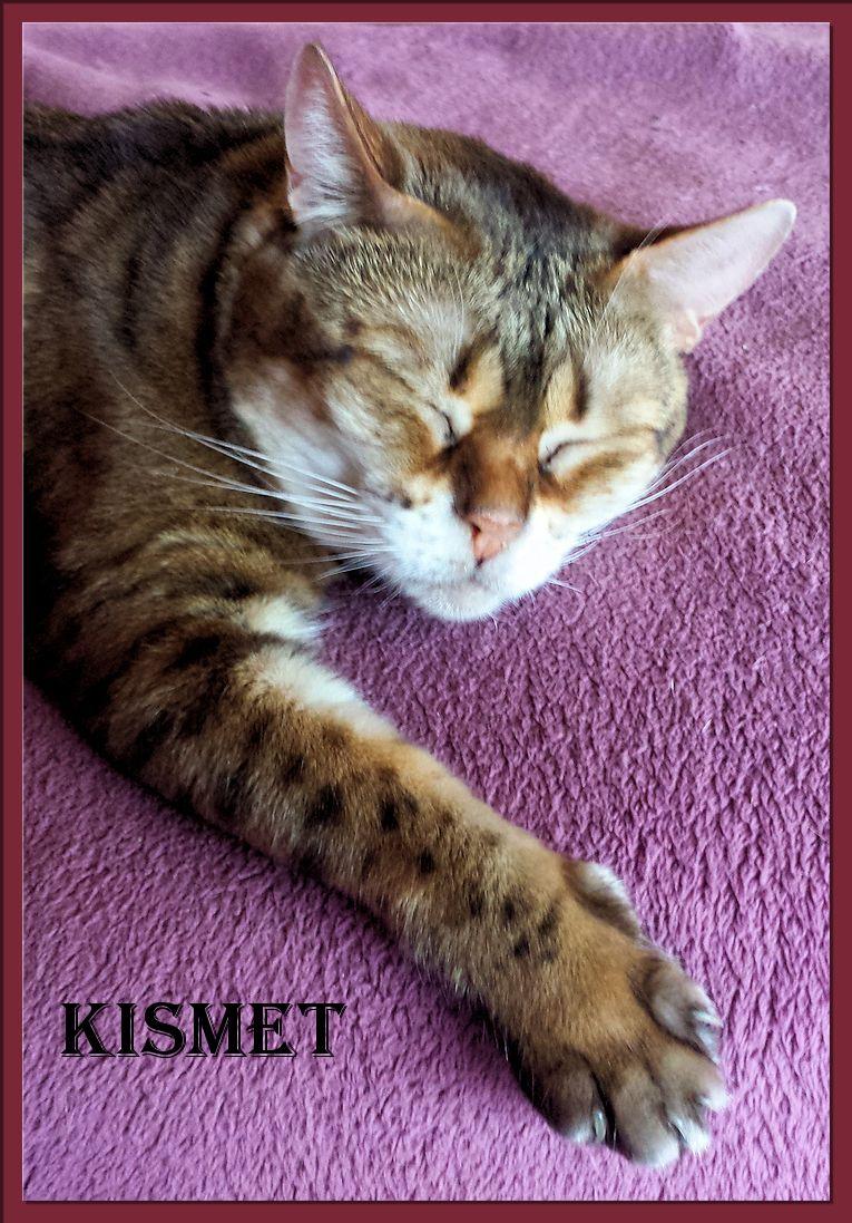 Bengal Cat Kismet
