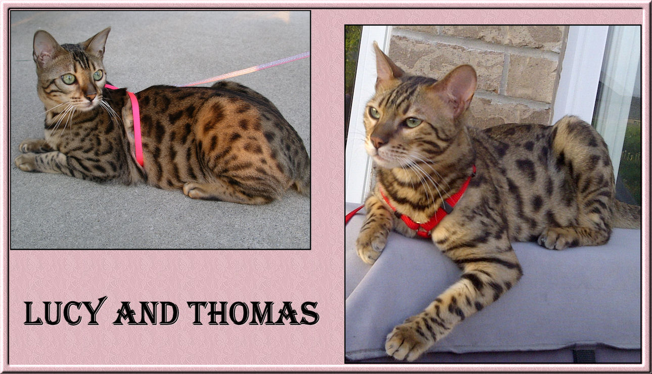 Bengal Cat Lucy Law and Thomas