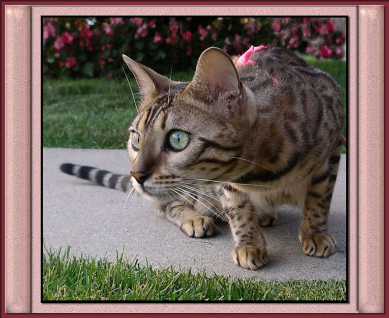 Most Expensive Cat BreedBengal Cat