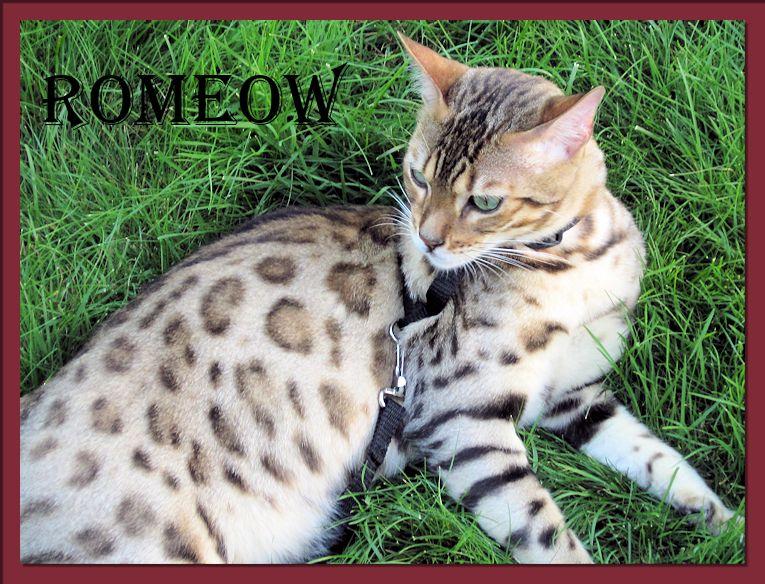 Bengal Cat Romeow