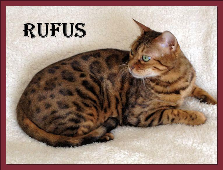 Bengal Cat Rufus
