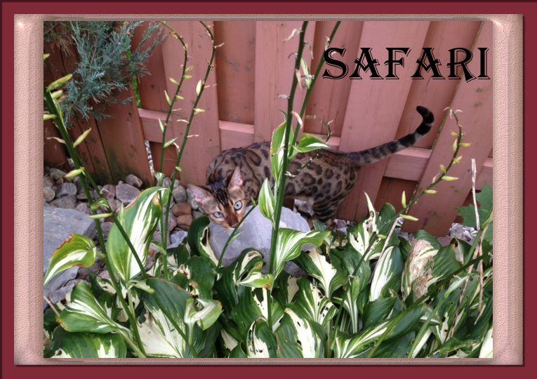 Bengal Cat Safari