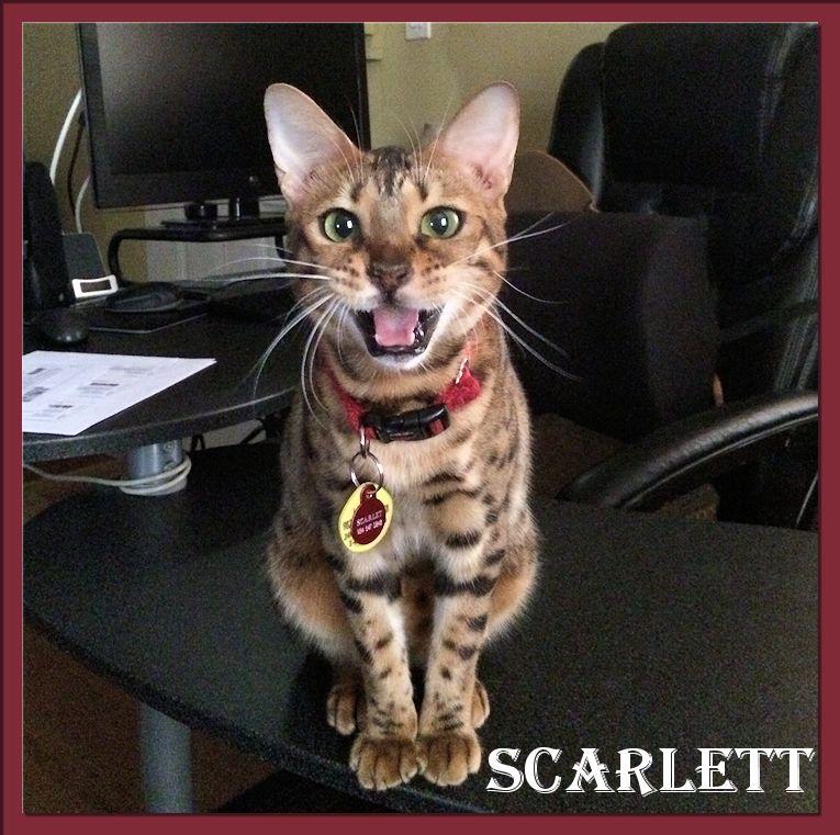 Bengal Cat Scarlett