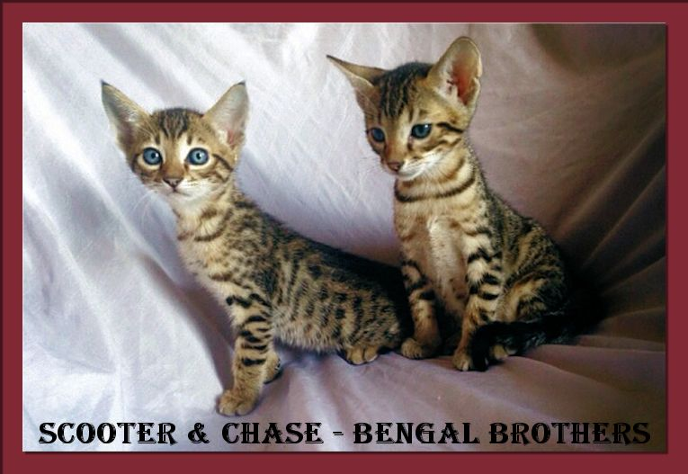 Bengal Brothers Scooter and Chase