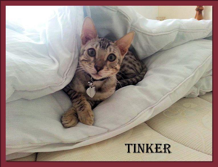 Bengal Kitten Tinker from England