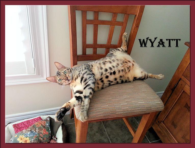 Bengal Cat Wyatt